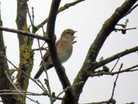 Fauvettes rousserolles chants d 39 oiseaux - Chant fauvette des jardins ...