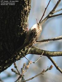Sittelle grimpereaux pie gri che chants d 39 oiseaux - Chants oiseaux des jardins ...